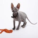 Śliczny bezwłosy sfinksa kot odizolowywający na bielu fotografia royalty free