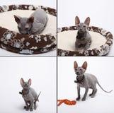 Śliczny bezwłosy sfinksa kot odizolowywający na bielu zdjęcia royalty free
