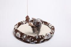 Śliczny bezwłosy sfinksa kot odizolowywający na bielu fotografia stock