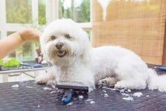 Śliczny biały bolończyka pies przygotowywa w słońca świetle obrazy stock