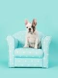 Śliczny biały i brown francuskiego buldoga szczeniaka obsiadanie w błękitnym krześle na nowym błękitnym tle Obraz Stock