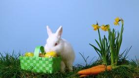 Śliczny biały królik obwąchuje Easter jajka w koszu oprócz daffodils zbiory wideo