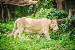 Śliczny biały lew, jeden duzi koty w genus (Panthera Leo) Zdjęcie Stock