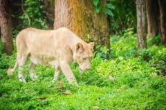 Śliczny biały lew, jeden duzi koty w genus (Panthera Leo) Obrazy Stock