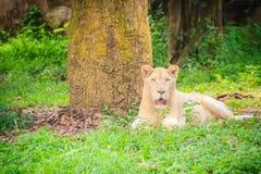 Śliczny biały lew, jeden duzi koty w genus (Panthera Leo) Zdjęcia Royalty Free