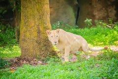 Śliczny biały lew, jeden duzi koty w genus (Panthera Leo) Zdjęcia Stock