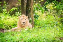 Śliczny biały lew, jeden duzi koty w genus (Panthera Leo) Obraz Stock