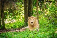 Śliczny biały lew, jeden duzi koty w genus (Panthera Leo) Fotografia Royalty Free