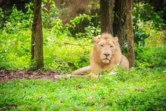 Śliczny biały lew, jeden duzi koty w genus (Panthera Leo) Obrazy Royalty Free