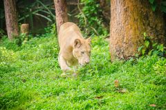Śliczny biały lew, jeden duzi koty w genus (Panthera Leo) Zdjęcie Royalty Free