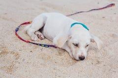 Śliczny biały szczeniak na plaży Obraz Stock