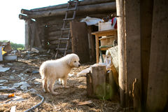 Śliczny biały szczeniaka pies Obraz Stock