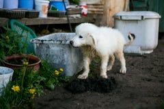 Śliczny biały szczeniaka pies Obrazy Royalty Free