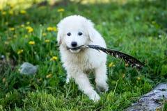Śliczny biały szczeniaka psa bawić się Fotografia Royalty Free