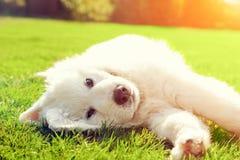 Śliczny biały szczeniaka psa lying on the beach na trawie Fotografia Stock