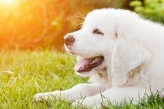 Śliczny biały szczeniaka psa lying on the beach na trawie Zdjęcie Royalty Free