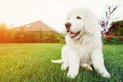 Śliczny biały szczeniaka psa obsiadanie na trawie Obraz Stock