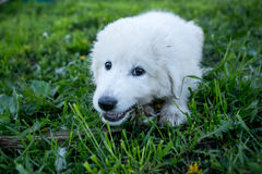 Śliczny biały szczeniaka psa portret obraz royalty free