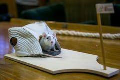 Śliczny biały szczur obraz royalty free