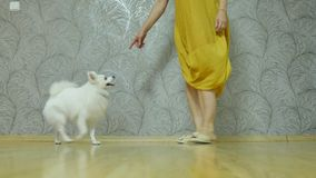 Śliczny bielu pies, prawdziwy przyjaciel z ludźmi zdjęcie wideo