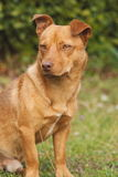 Śliczny brązu pies plenerowy Obraz Stock