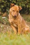 Śliczny brązu pies plenerowy Fotografia Royalty Free