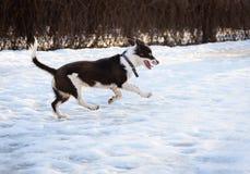 Śliczny brown i białego trakenu kundla psi bawić się na śliskim śniegu Obraz Royalty Free