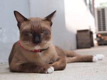 Śliczny brown kot kłaść puszek i gapić się coś Obraz Royalty Free