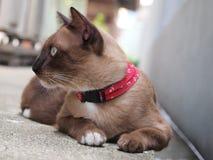 Śliczny brown kot kłaść puszek i gapić się coś Zdjęcia Royalty Free