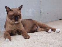 Śliczny brown kot kłaść puszek i gapić się coś Zdjęcie Stock