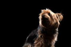 Śliczny Brown Yorkie Silky Mutt Patrzeje Oddolny zdjęcie stock