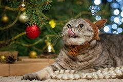 Śliczny Brytyjski kot z kapeluszem z rogami jeleni Rudolph przeciw tłu choinka i światła, Boże Narodzenia, Nowy Ye obraz stock