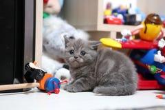 Śliczny Brytyjski Shorthair dziecko Fotografia Royalty Free