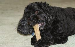 Śliczny Cavapoo pies także powszechnie znać spanielem, Cavoodle i Cavoo imię pudla x królewiątka Charles Nonszalanckimi, je kość zdjęcie stock