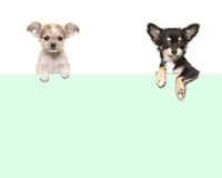 Śliczny chihuahua jest prześladowanym obwieszenie nad zielonego papieru granicą Obrazy Stock