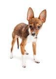 Śliczny chihuahua szczeniak Z Dużymi ucho Zdjęcia Stock