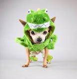 Śliczny chihuahua ubierał up w zielonym dinosaurze lub jaszczurki costu Fotografia Royalty Free