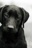 Śliczny czarnego psa szczeniaka labrador patrzeje dobro przy tobą, powodować politowanie obrazy royalty free