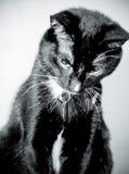 Śliczny czarny i biały smokingu kot siedzi patrzeć w dół obraz royalty free