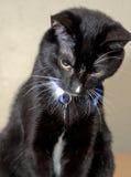 Śliczny czarny i biały smokingu kot siedzi patrzeć w dół zdjęcie stock