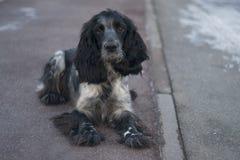 Śliczny czarny jarzębaty psi spaniel Obraz Royalty Free