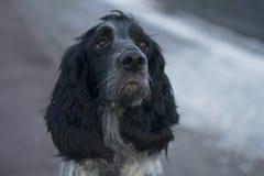 Śliczny czarny jarzębaty psi spaniel Obraz Stock