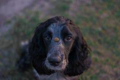 Śliczny czarny jarzębaty psi spaniel trzyma karmowy na nosie Zdjęcia Stock