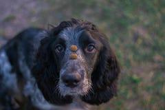 Śliczny czarny jarzębaty psi spaniel trzyma karmowy na nosie Obraz Stock