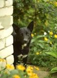 Śliczny czarny pies stoi za ślimaczkiem Zdjęcie Stock
