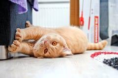 Śliczny czerwony tabby kot kanapą zdjęcie royalty free