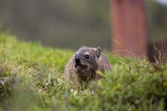 Śliczny dennej wydry łasowanie w trawie fotografia stock