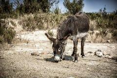Śliczny domowy osła pasanie Zdjęcie Stock
