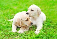 Śliczny dwa szczeniaka psa Labrador Retriever kłama wpólnie na trawie zdjęcia stock