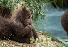Śliczny dziecko niedźwiedź utrzymuje oko na mamie Obrazy Stock